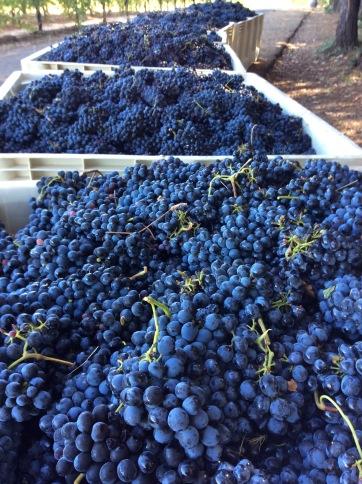 2016-grapes