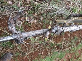 pruning-part-1c